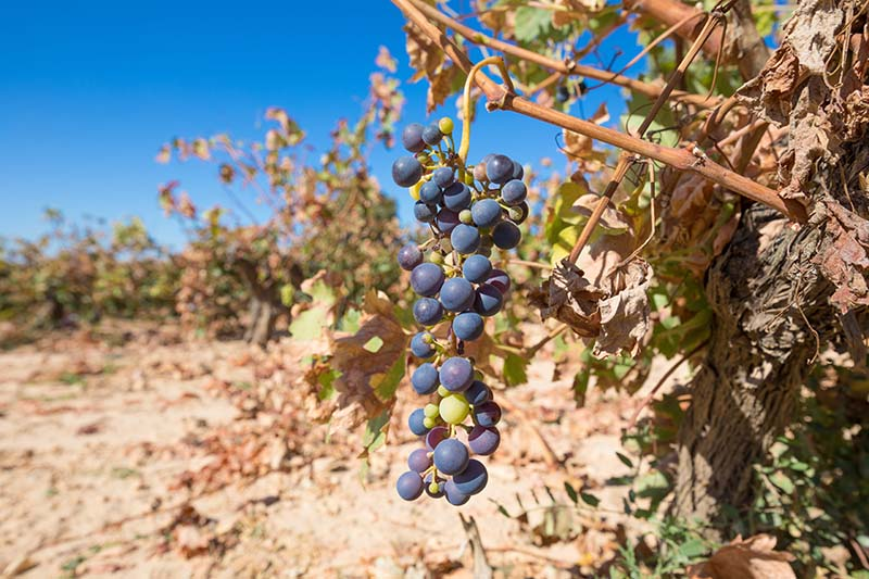 How the Wine Industry Can Use Technology to Respond to Climate Change